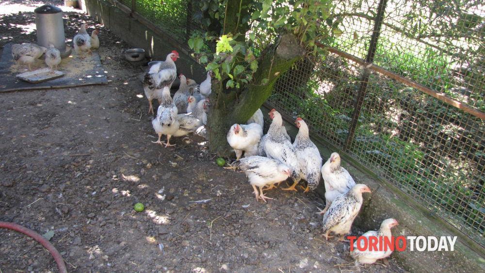 Il contadino rimane senza galline: i ladri ne rubano una decina quasi sotto i suoi occhi - TorinoToday